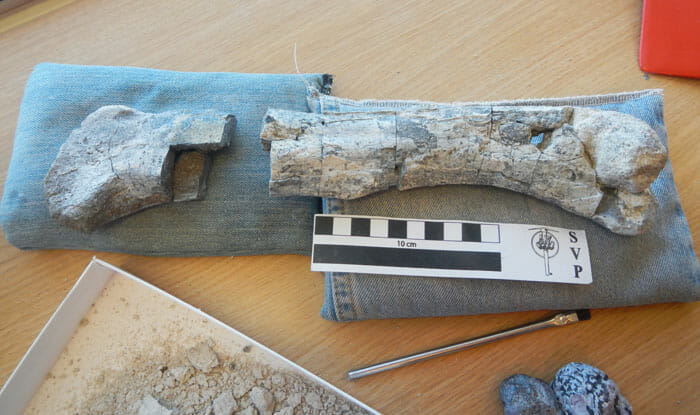 The Great Phytosaur Femur Recovery